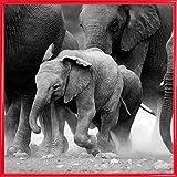 1art1 Elefantes Póster Impresión Artística con Marco (Plástico) - Running Herd, Namibia, B/W (40 x 40cm)