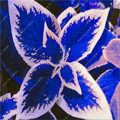 GETSO Vente Hot 100 Pcs Bonsai Arc-en-Coleus Fleur Plantes Beau Feuillage Couleur Parfaite Dragon Balcon Begonia Bonsai Facile à cultiver: 3