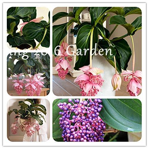 Medinilla Magnifica Plant Very Beautiful Bonsai Flower Plant For Home Garden Decoration Rare Lantern Flower Perennial 100 Pcs : Green