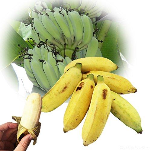 【今が旬】 沖縄県産 銀バナナ 約1.6kg Banana Party 甘みが強くほどよい酸味 自然本来の味の無農薬国産バナナ