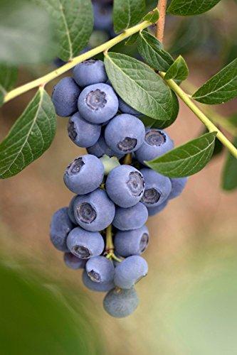 Heidelbeere 'Reka' - Blaubeeren Pflanze...