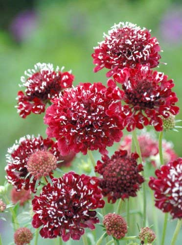 25 Seeds Of scabiosa FIRE FLOWER KING (résistant cerf)