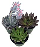 3 Different Desert Rose Succulent Plants - Echeveria - Easy to Grow -...