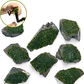 (水草)巻きたて 南米ウィローモス 風山石 ミニサイズ(約5cm)(無農薬)(3個) 本州・四国限定[生体]