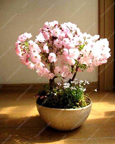 10 pcs mini Bonsaï japonais Sakura, Graines Bonsai Fleur de cerisier Accueil Graden Décoration Livraison gratuite Jaune