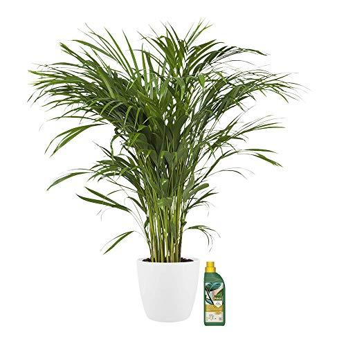 Zimmerpflanze von Botanicly – Goldfruchtpalme in weißem Übertopf + 500 ml Dünger als Set – Höhe: 90 cm – Areca dypsis lutescens