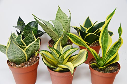 6 Different Snake Plants in 4' Pots - Sansevieria - Live Plant - FREE Care Guide