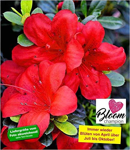 BALDUR Garten Durchblühende Azalee 'Bloom Champion' rot 1 Pflanze Rhododendron winterhart