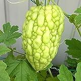 苦みが少なく果肉が厚くて、調理しやすく食べやすい新しいゴーヤ品種です。 花も沢山咲く多収穫タイプ。 アップル型の非常に大きな実のゴーヤで、平均果重は350g~450g程度、肉厚でジューシー。 ゴーヤ独特の苦みが少なく、皮のイボは滑らかなタイプで明るい緑色の果皮です。 学名:Momordica charantia var. pavel 英名:balsam-apple, bitter gourd タイプ:ウリ科ツルレイシ属 【育て方】 ■日当たり・置き場所 日当たりが良く風通りの良い場所を好みますの...