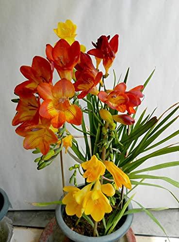Bulbos De Fresia, Bulbos Resistentes Y Fuertes, Bulbos Perennes En El Jardín, Hermosos-5-bulbos,Naranja