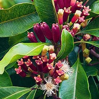Creative Farmer Live Plant Spice Plants Syzygium Aromaticum, Clove On Poly Bag Plant (Syzygium Aromaticum) Home Garden (1 Healthy Live Spice Plant)