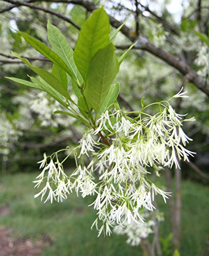 Virginischer Schneebaum Chionanthus virginicus Pflanze 25-30cm Giftesche