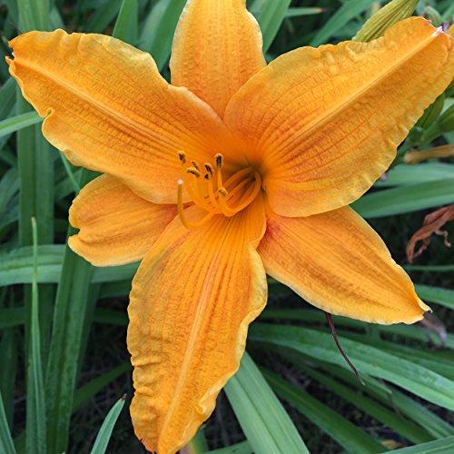 Blumixx Stauden Hemerocallis Hybride 'Burning Daylight' - Taglilie im 1,0 Liter Topf orange blühend