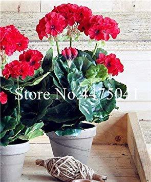 . 50 PC/Los Seltene lila Geranie, Pelargonium Peltatum Geranium Stauden Seltene Blumen-Pflanzen für Innenräume: 17