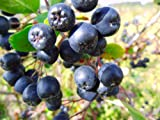 BLACK CHOKEBERRY - Aronia Melanocarpa - 40 seeds - Bonsai Seeds