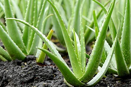PLAT FIRM GERMINATIONSAMEN: Aloe Vera Plant Live 6