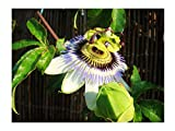 Blue PASSONFLOWER Passiflora caerulea - 30-40cm Tall Starter Plant in a 7cm or 8cm Pot - The hardiest Passion Flower for The UK - Fast Growing Climber with Large, Blue Flowers