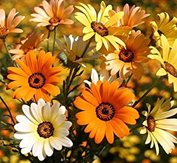 TomorrowSeeds - African Mix Daisy Flower Seeds - 200+ Count Packet USA Garden Cape Marigold Yellow Orange Sunflower Seed NonGMO for 2021