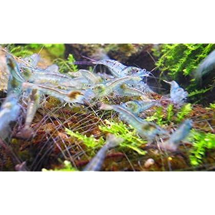 Blue Pearl Garnelen 10 Stk – Shrimpfarm-Frankfurt