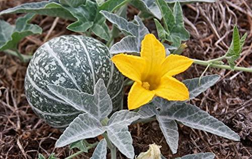 Cucurbita Foetidissima MissouriGośrd,布法罗Goủrd,Prairiegoủrd10sêêds