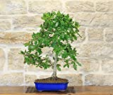 bonsai di quercia roverella (11)