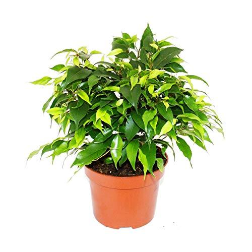 Exotenherz - Buschige Birkenfeige - Ficus benjamini