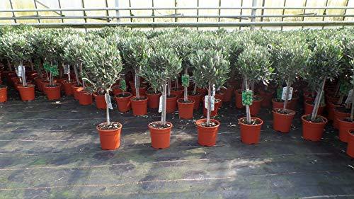 Olivenbaum Stamm Olive 80-100 cm hoch, beste Qualität, Olea Europaea