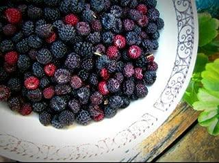 6 Jewel Black Raspberry Live Plants Organic Mature Bare-Root Rubus Occidentalis