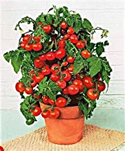 Tomato - Cherry And Grape Mini Belle 500 seeds