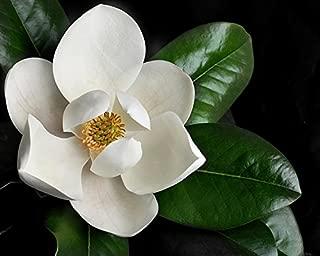 Magnolia grandiflora - Southern Magnolia Tree in small pot