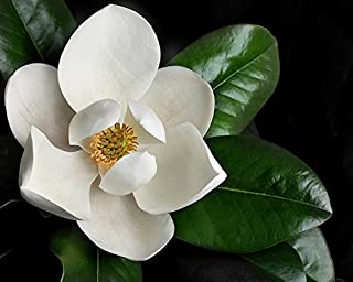magnolia tree seeds pictures