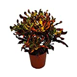 Croton Mammy Plant Live - 3 Gallon Pot - Overall Height 24' to 28' - Tropical Plants of Florida