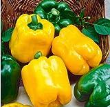 Xianjia Garten - Raritäten Gemüse-Paprika Samen