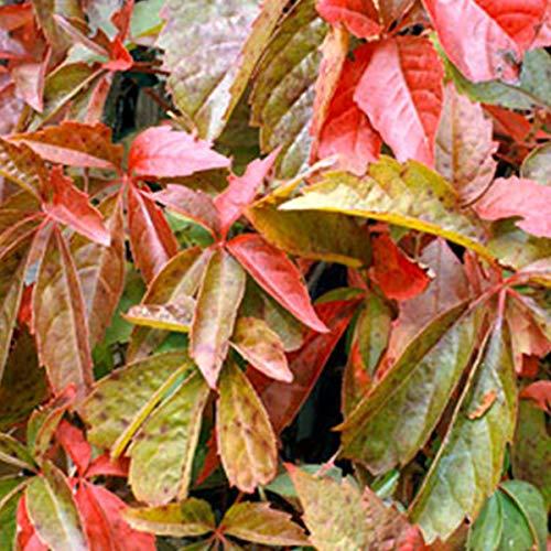 Parthenocissus Quinquefolia - Wilder Wein 50-60 cm Pflanzcontainer