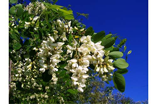15 Samen Robinie Baum Bonsai Weiß, hängend, Glyzinien wie Blumen Standard oder Behälter im Garten Robinia pseudoacacia