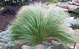 500 semi Stipa tenuissima Seeds - piuma d'erba messicana, Pianta perenne Erba ornamentale