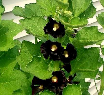 Noir Graines de rose trémière - Althaea Rosea Feuilles Nigra