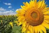 Sweet Yards Seed Co. Mammoth Grey Stripe Sunflower Seeds – Extra Large Packet – Over 250 Open Pollinated Non-GMO Seeds – Helianthus annus