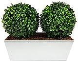 GreenBrokers Double Topiary Boxwood Balls (35cm) Window Box in White Tin Planter boj Artificial topiario de aglaia (35 cm) con Ventana en Maceta de Lata, Bola Doble Blanca