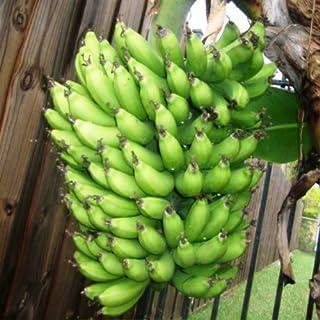Amazon com: Banana - Trees / Plants, Seeds & Bulbs: Patio