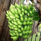 Banana Plants'Dwarf Cavendish' Includes Four (4) Plants