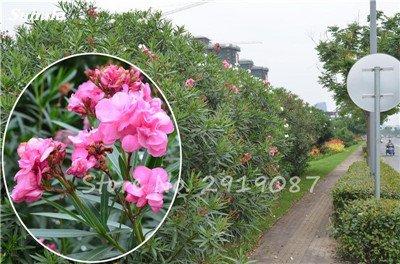 Hot 100 Pcs vivaces fleurs Phlox Graines exotiques Bonsai Graines de fleurs belles fleurs multi couleur Plante en pot Diy jardin 4