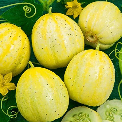 Qulista Samenhaus - Amerika Rarität Gurkensamen Lemon Ertragreich Runde, hellgelbe Freiland-Zitronengurke | Gemüsesamen Winterhart mehrjährig, Perfekt als Snack- oder kleine Salatgurke