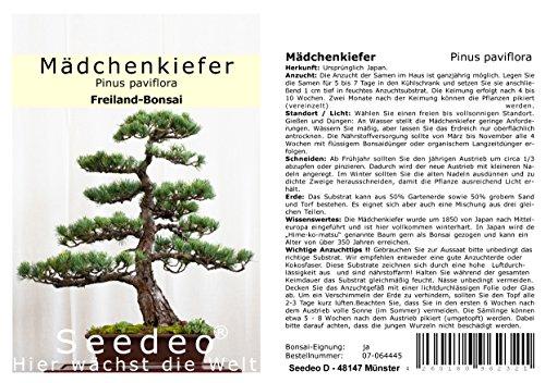 Seedeo® Mädchenkiefer (Pinus parviflora) Bonsai 15 Samen