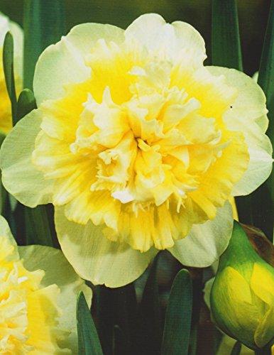 20 Großblumige gefüllte Narzissen Ice King Blumenzwiebeln Narcissus