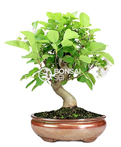Bonsai - Manzano, 12 Años (Bonsai Sei - Malus)