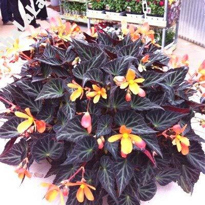 120 Teile/beutel Schöne Begonie, seltene Begonie Samen Bonsai Blumensamen Blumen Topf Begonie Pflanzen Für Garten Balkon Coleus Samen