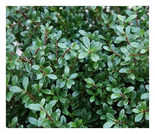25 x Ilex crenata 'Stokes' (Berg Ilex) 10 bis 15 cm Buchs Buxus Ersatz ab 1,69 pro Stück