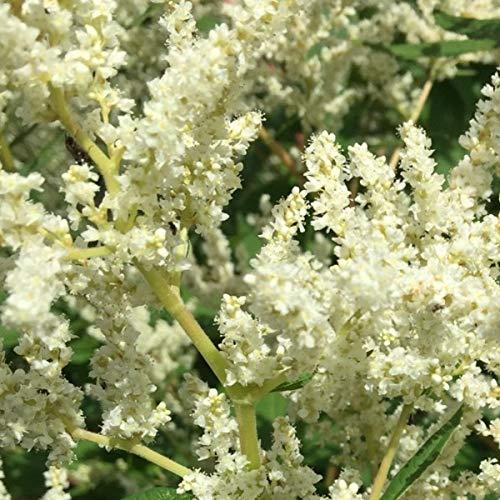 4 x Persicaria Polymorpha - Duizendknoop pot 9cm x 9cm