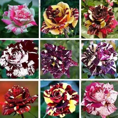 100pcs Mixed Color Rose Seeds Bonsai Fower Seeds Double Flap Blood Climbing Rose